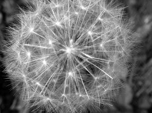 puffball flower.jpg